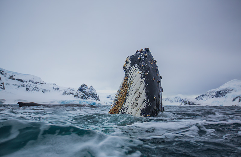 BaleineAntarctique